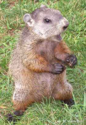 groundhogleebhamilton2copy