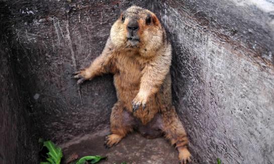 Groundhog caught in chicken pen, Chengdu, China - 06 Apr 2012