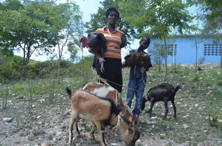 goats-in-haiti