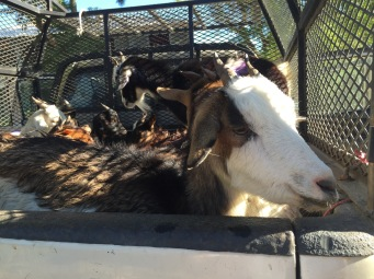 Truckload of Goats