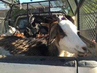 Truckload of Goats