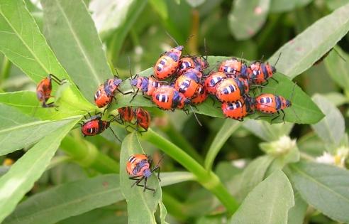 Bug_aggregation