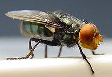 220px-Cochliomyia_hominivorax_(Coquerel,_1858)