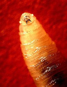220px-Screwworm_larva